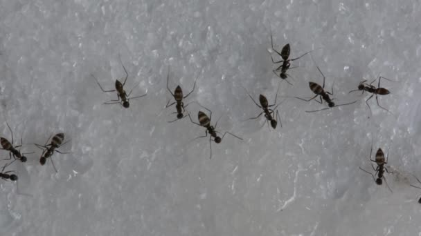 Ants eating a sweet water. No Sound.