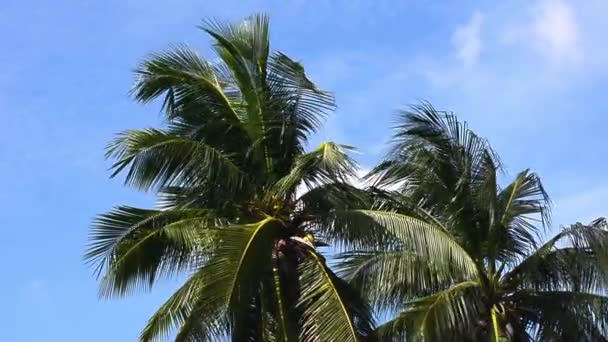 Coconut trees with the wind blows all the time. No Sound.