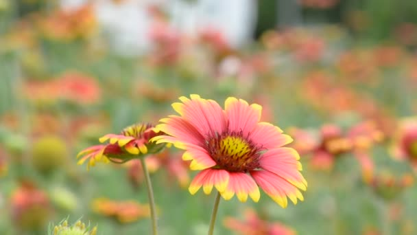 Gaillardia flowers with the wind blows all the time. No Sound.