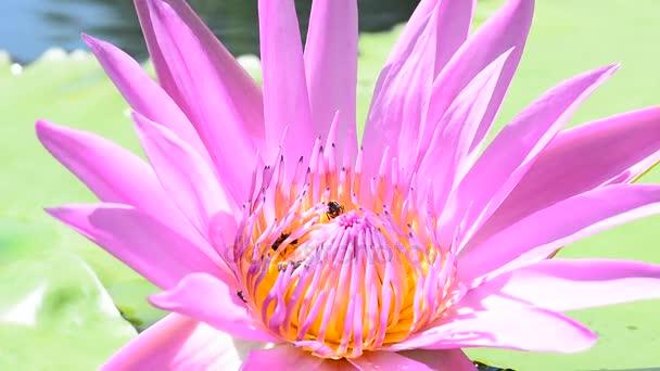 Včela, jíst pyl z lotus na pozadí přírody. Žádný zvuk.