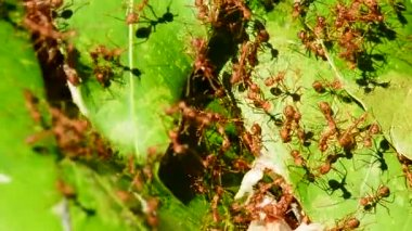 Many red ants trying to build nests on mango leaves in a windy day. No Sound.