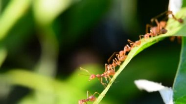 Many red ants are reconnaissance on mango leaves in a windy day. No Sound.