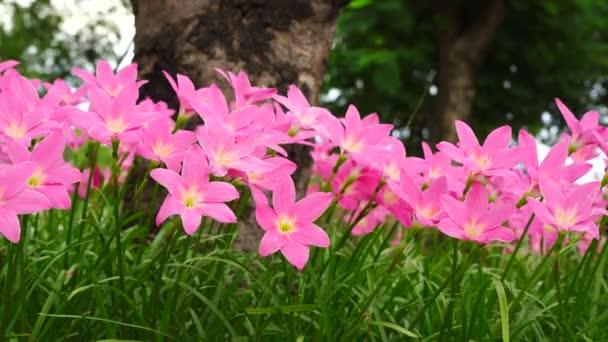 Růžový zephyranthes carinata na pozadí přírody s vítr fouká neustále