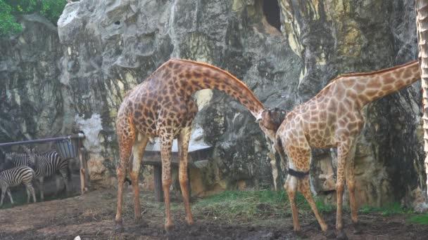 A férfi zsiráf takarítás egy női zsiráf