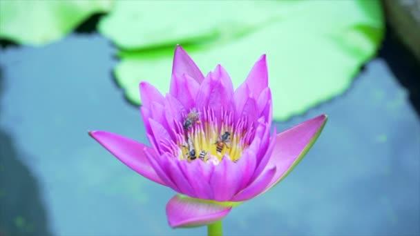 Včely jedí pyl z lotosu na přírodním pozadí. 4k pomalý pohyb.