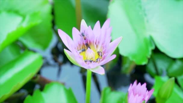 Méhevés virágpor lótuszból a természetben.