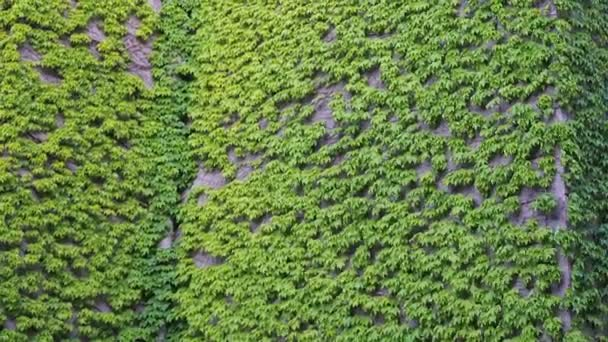 Plot na přední části domu. Vinné révy kolem zdi budovy. Plovoucí rostlina břečťan kývá ve větru