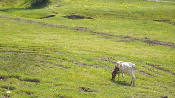 Allevamento del bestiame domestico. Bull pascolano sul prato solarium. Una mandria di mucca al pascolo su un campo verde con il trifoglio