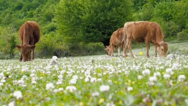 Domácí odchov. Krávy se pasou na louce. Stádo krav pasoucích se na zelené louce s jetelem.