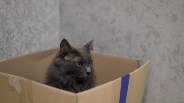 graue flauschige Katze sitzt in einem Karton. Selektiver Fokus.