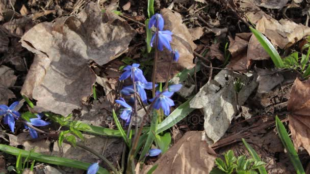 Blue snowdrops in windy spring day, closeup