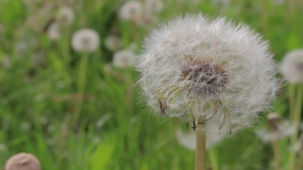 Bílé pampelišky v létě, větrný den