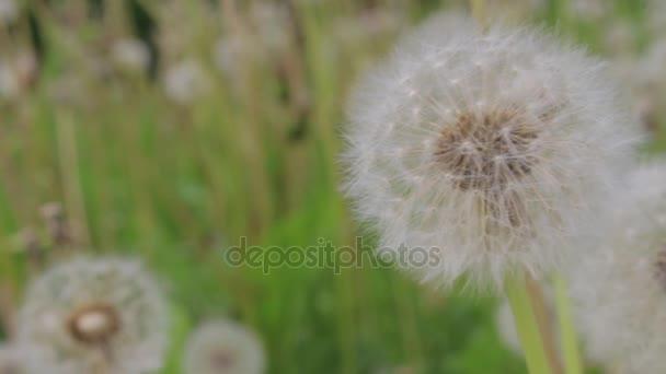 A nyár, szeles nap fehér pitypang