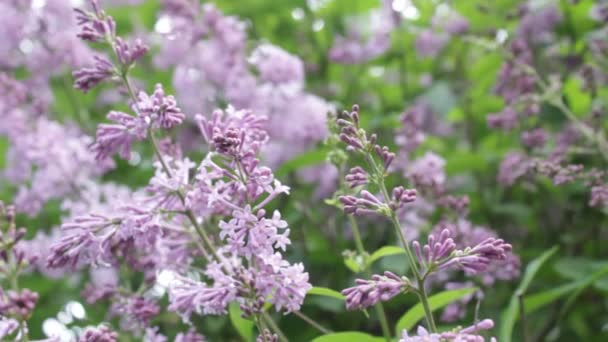 Lila bush v létě, větrný den