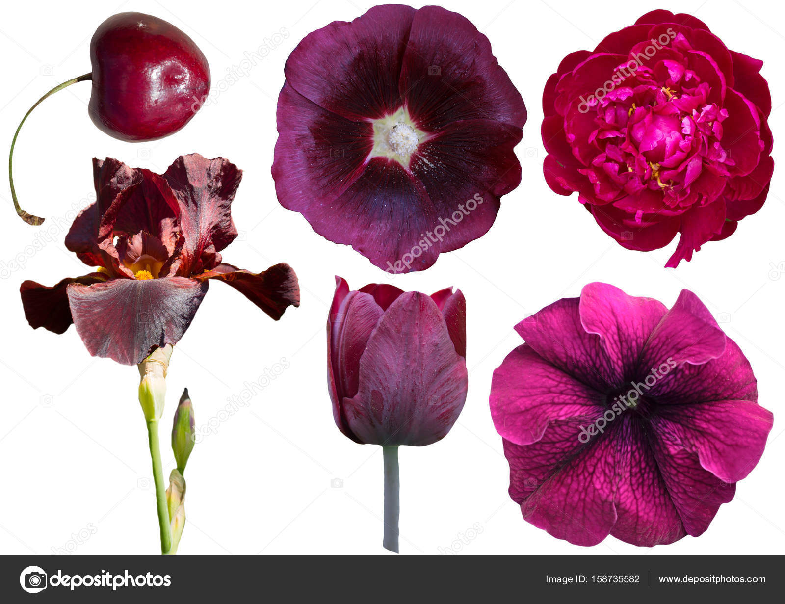 Collection of burgundy flowers isolated on white background — Stock ...