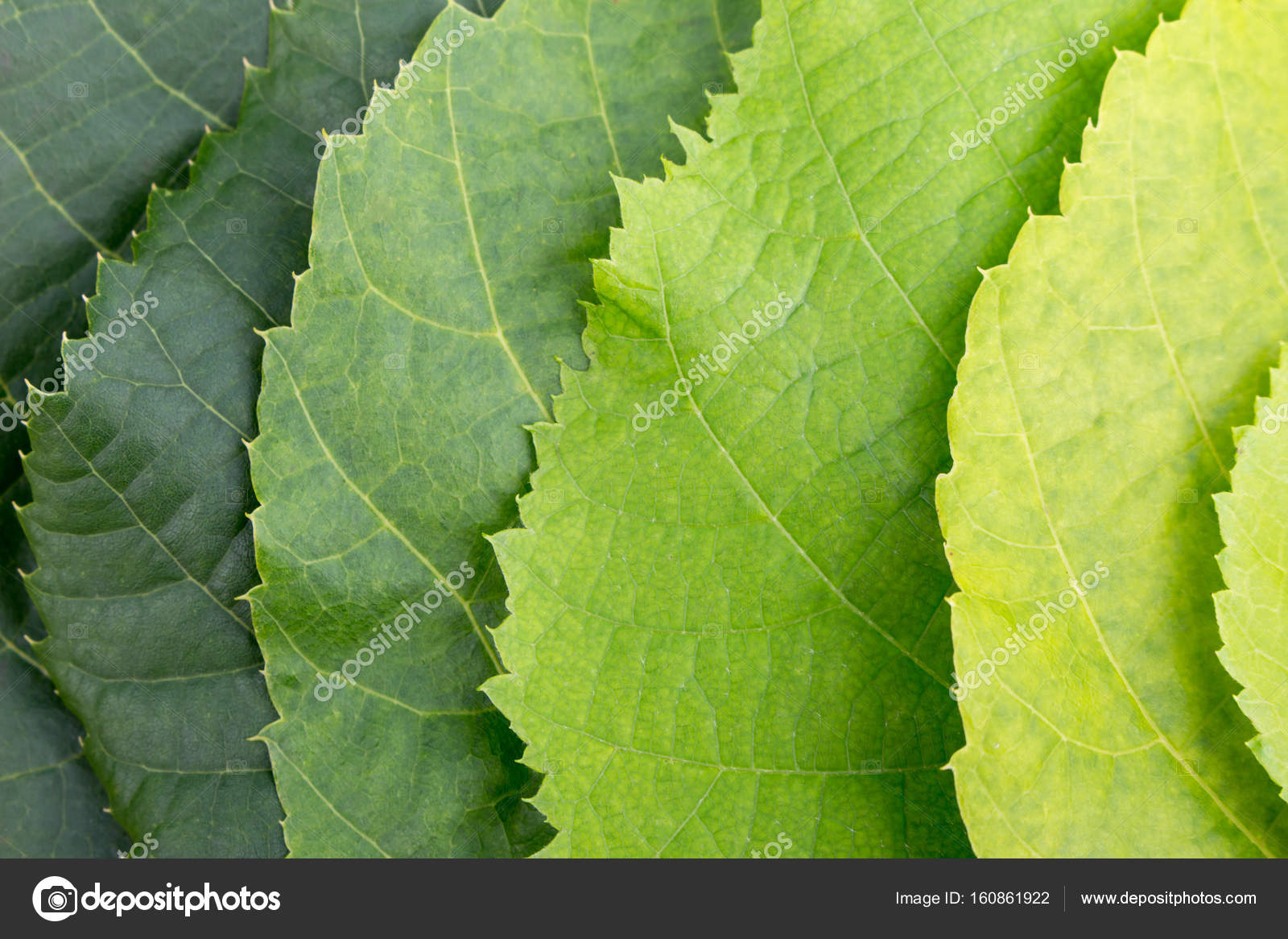 A palette of green color from leaves of a linden tree — Stock Photo ...