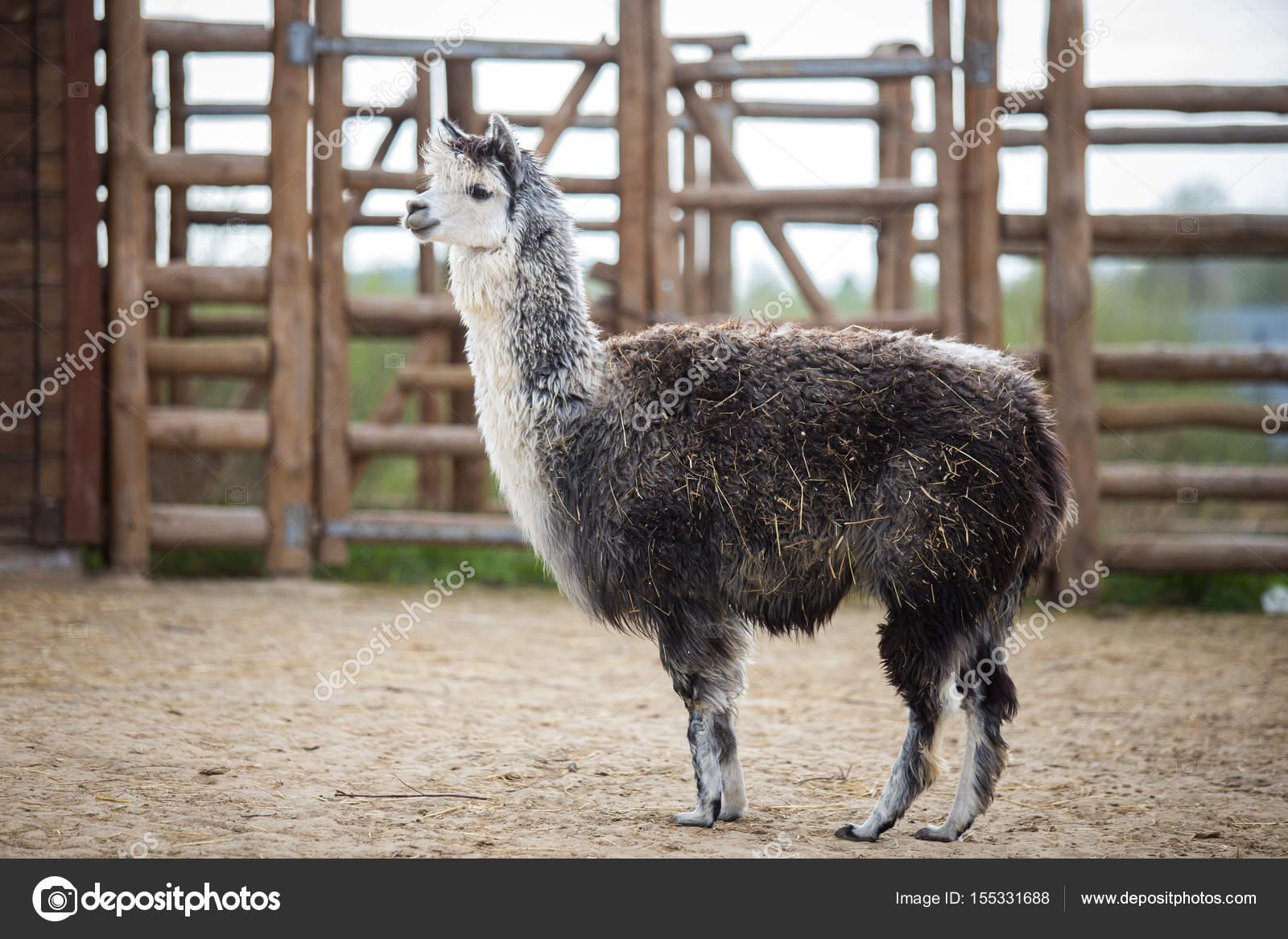 Il sudamericano-animale da Soma della famiglia. Cammelli con lana preziosa.  Close-up Lama bianco sorriso e denti divertente alpaca — Foto di veloliza c3916693282f