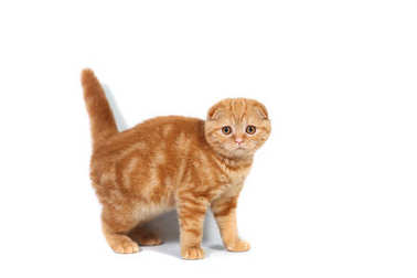 Scottish Fold small baby cat of red color with short hair in stripe with small ears and big full-length eyes on a white isolated background