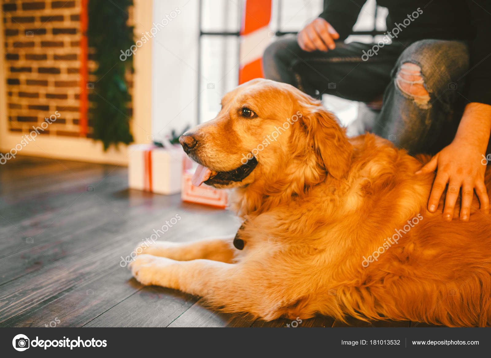 Golden Retriever Labrador Lies Next To The Owner Feet A Male Hand