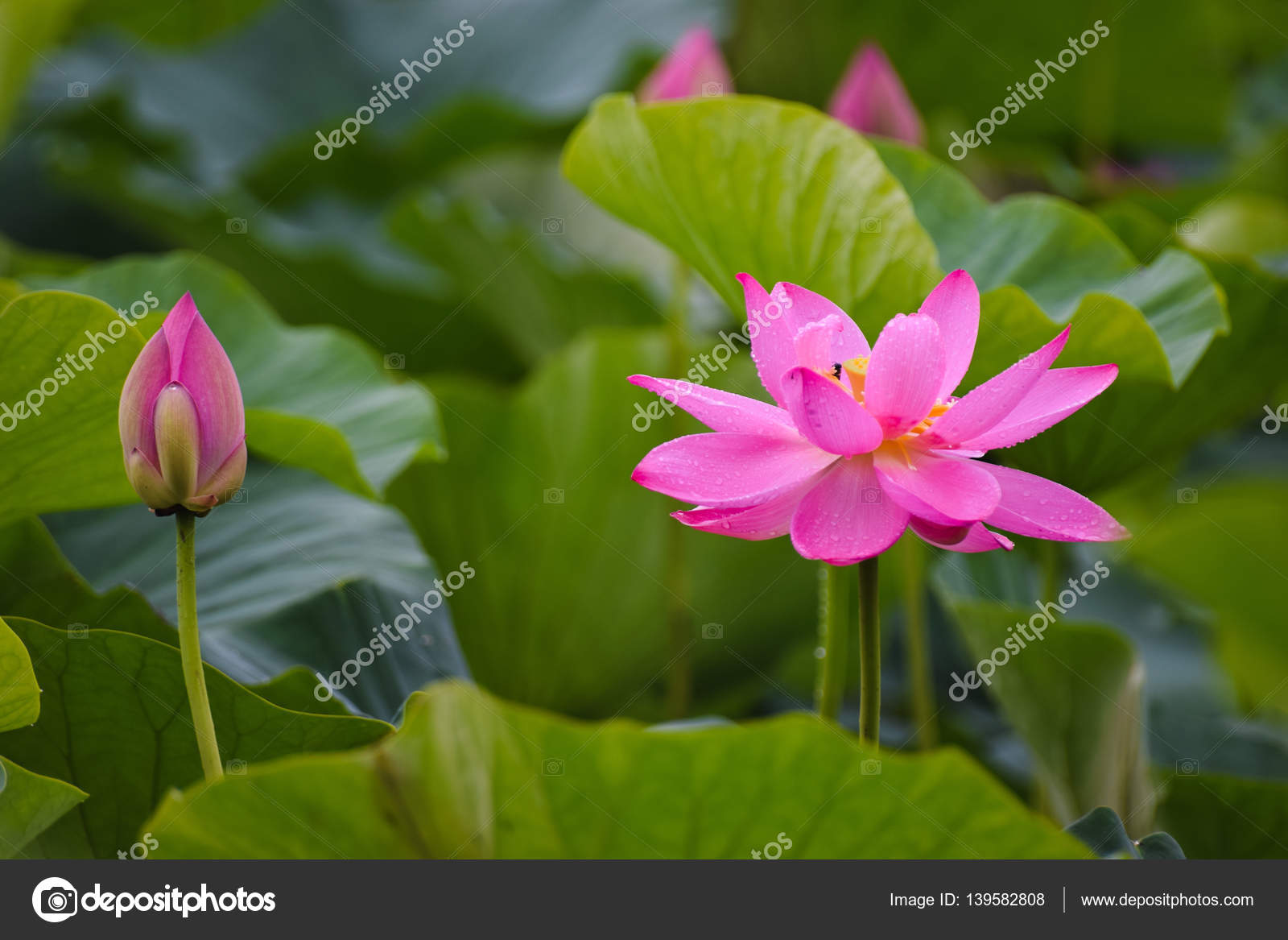 The Lotus Flower Blossomed From The Suns Heat Stock Photo