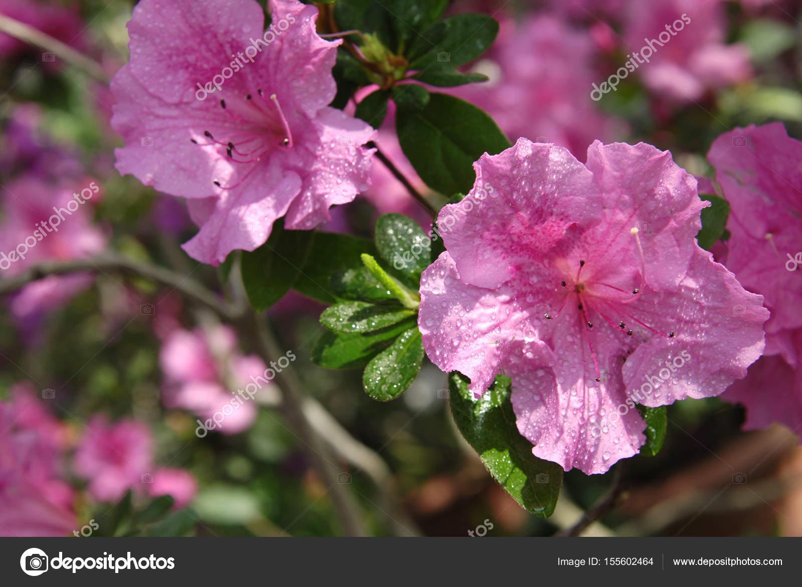 Pink Azalea Flower Stock Photo Nikusha1606 155602464