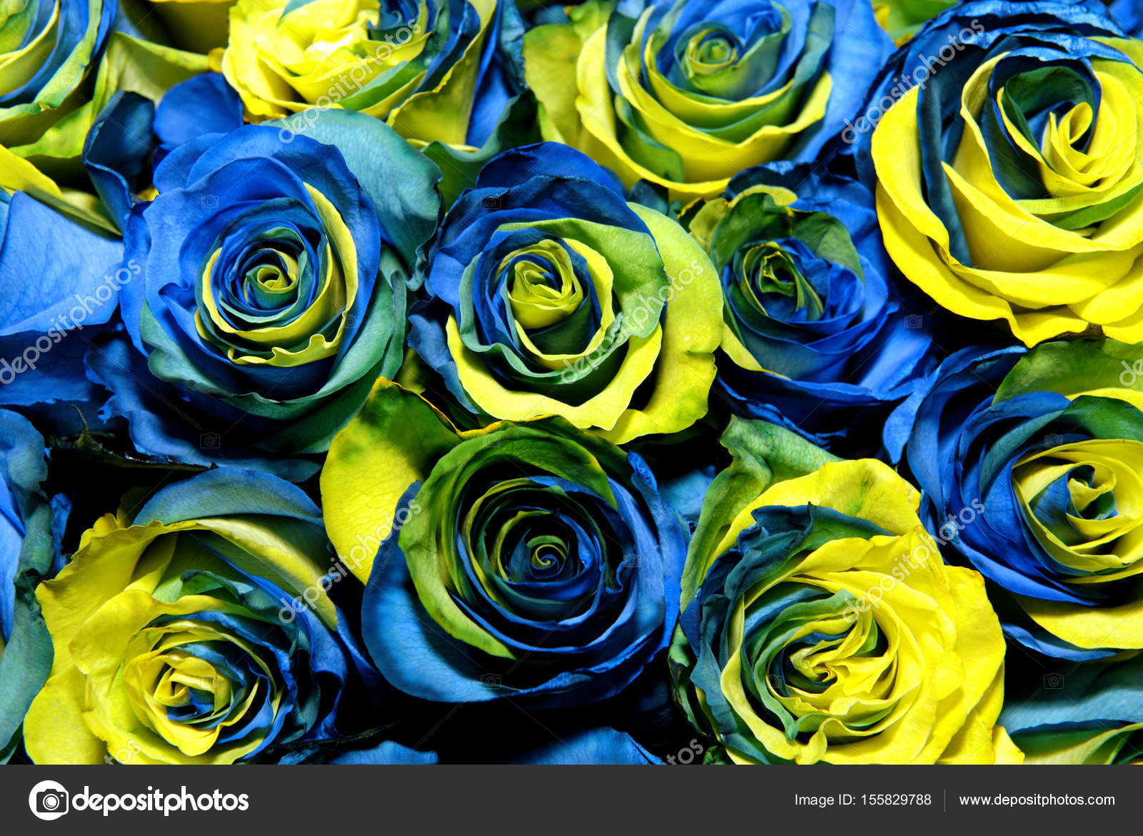 Fantastic Yellow And Blue Roses Stock Photo Nikusha1606 155829788