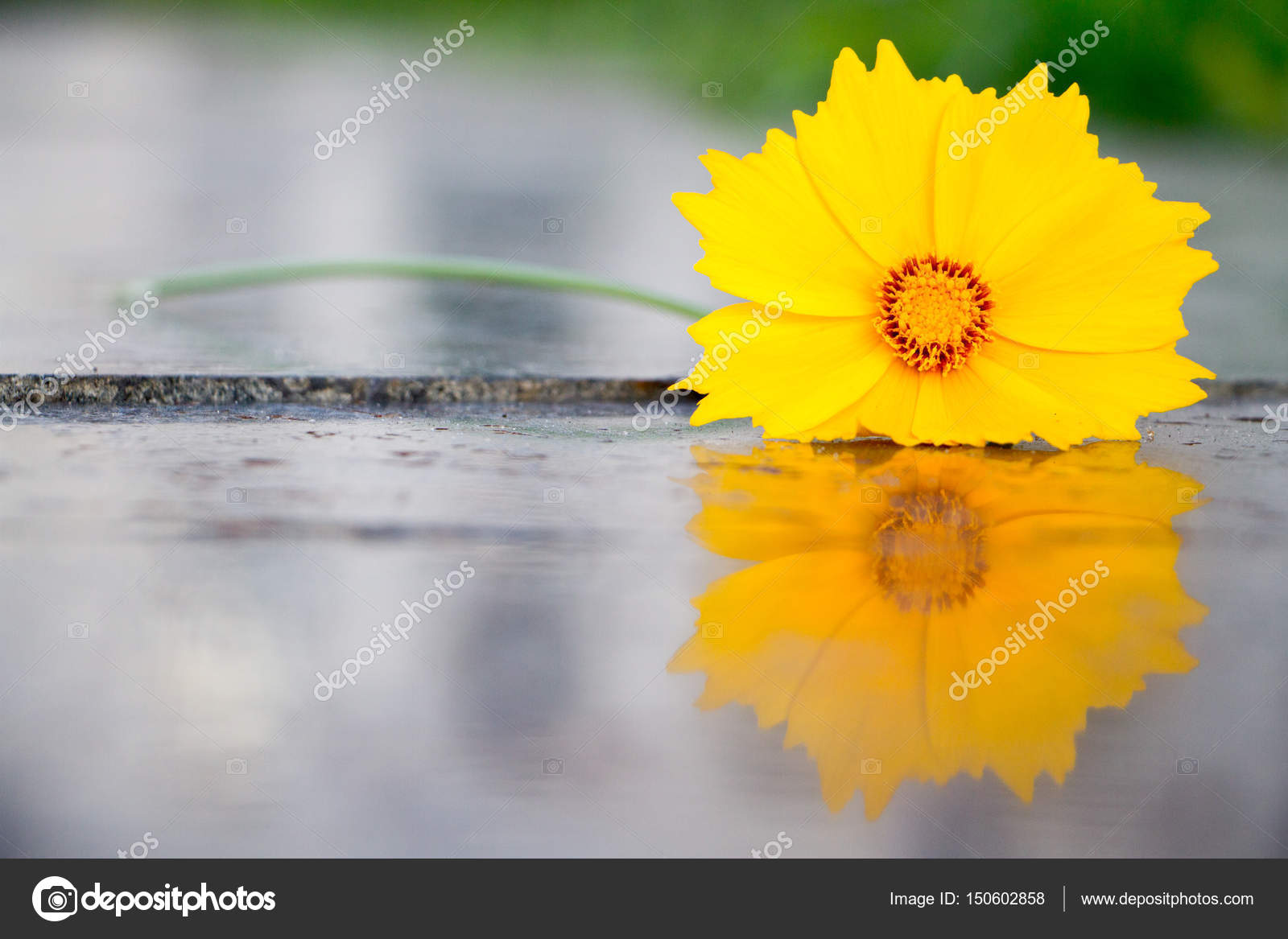Beautiful yellow flower called cosmos sulphureus stock photo beautiful yellow flower called cosmos sulphureus lies on a polished granite slab photo by ramann mightylinksfo