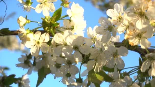 Třešňové květy při západu slunce
