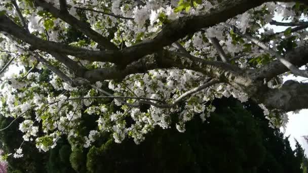 krásné Třešňové květy se chvějí ve větru, borovice