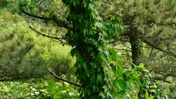 borovicemi  Vines, keře ve větru, hutná houpačka strom, svahu plevele  trávy.