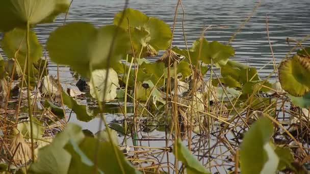 Grosse Lotus Blatt Pool Im Herbst Peking Stockvideo C Happypuss