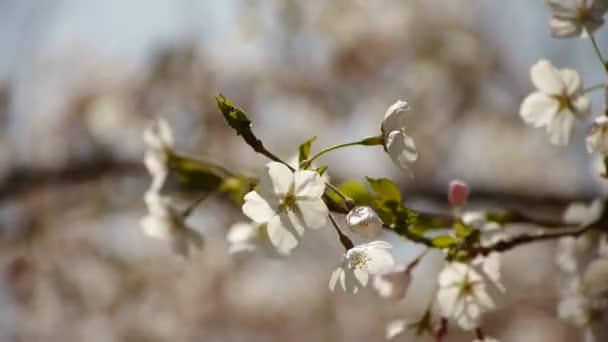 gyönyörű cseresznye virágok remegni a szél.