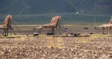 4k yak stroll on the land that After harvesting in shangrila yunnan,china.