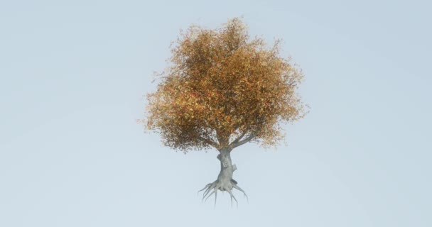 4 k osamělý strom  kořenové kymácí ve větru na podzim