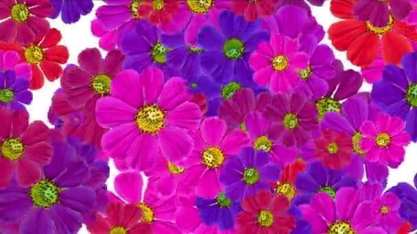 4k Daisy wedding background,wildflower flower plant bloom pattern,vitality.