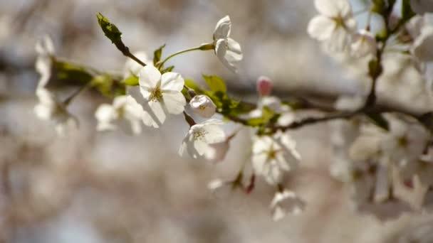 třást krásné Třešňové květy ve větru.