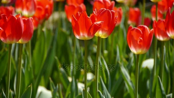 tulipány v plném květu