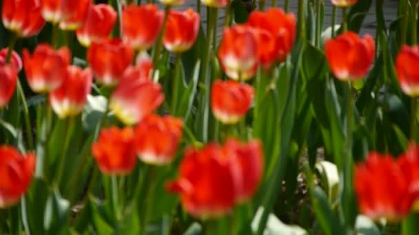 tulipány v plném květu.