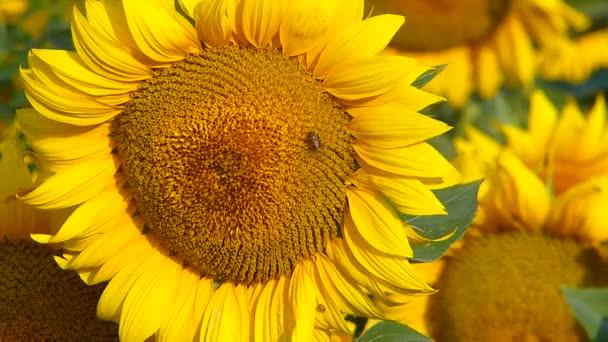 Včely přistání na slunečnice v letní západ slunce.