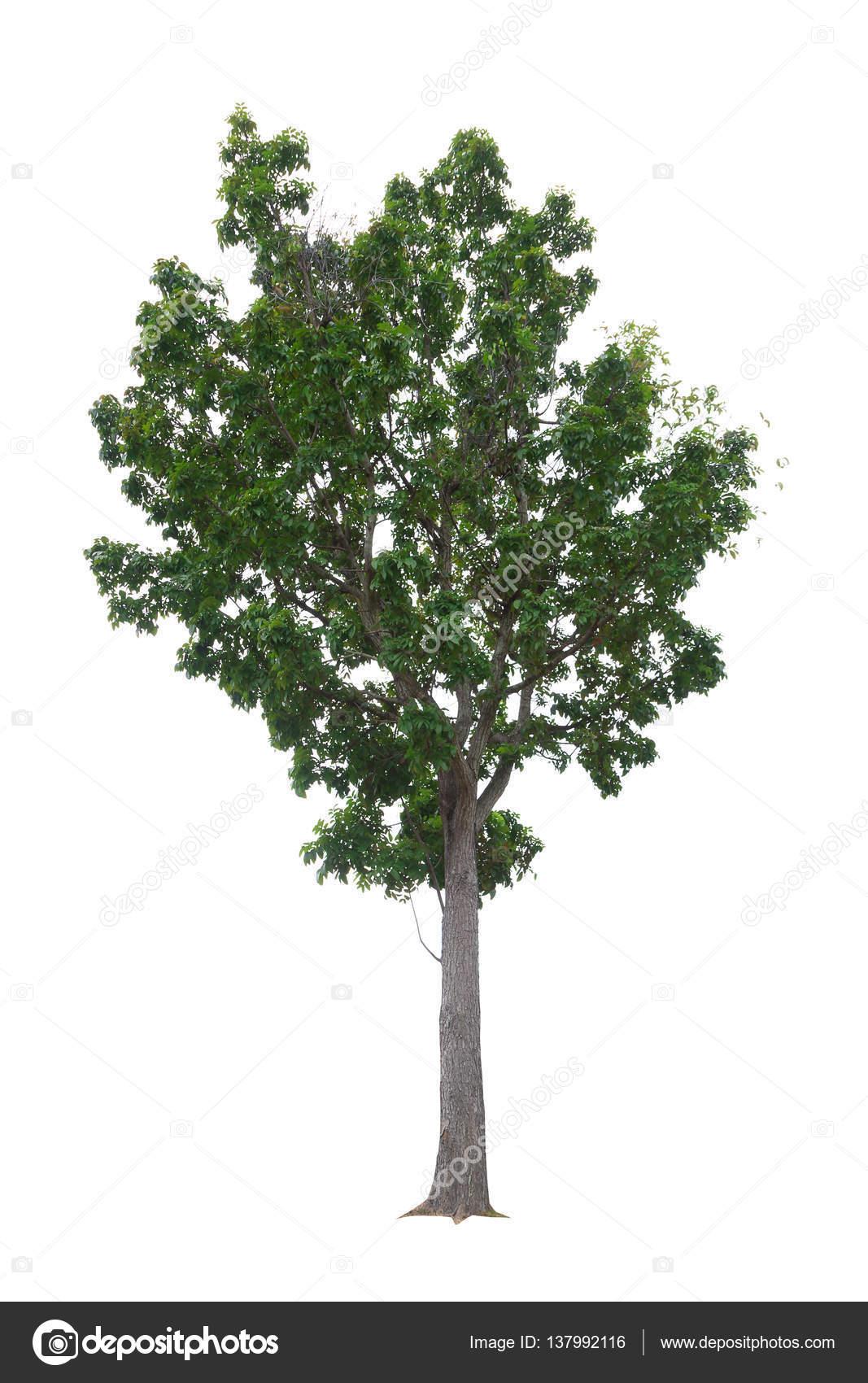 Mahagonibaum  Mahagoni-Baum isoliert auf weißem Hintergrund — Stockfoto © Jat306 ...