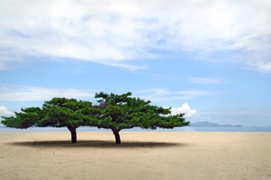 two lone korean pines