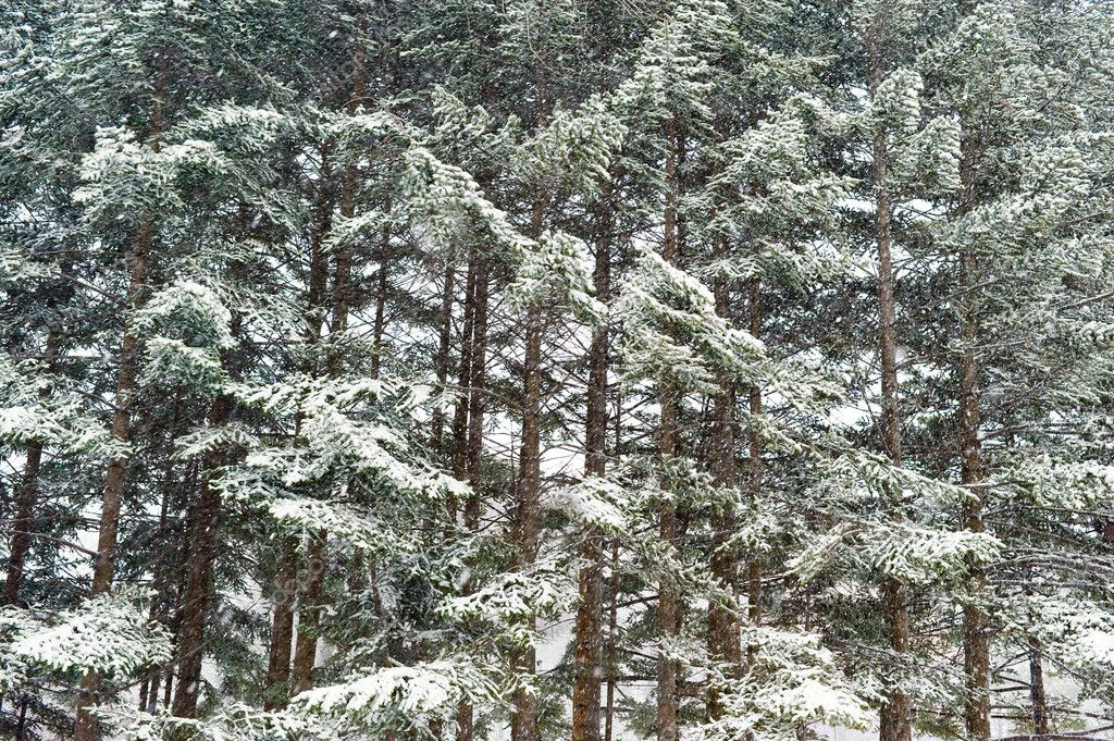 winter taiga forest under snowfall
