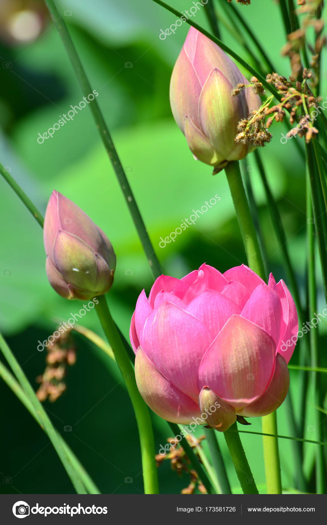 Lotus Flower And Lotus Flower Plants In The Pond Stock Photo