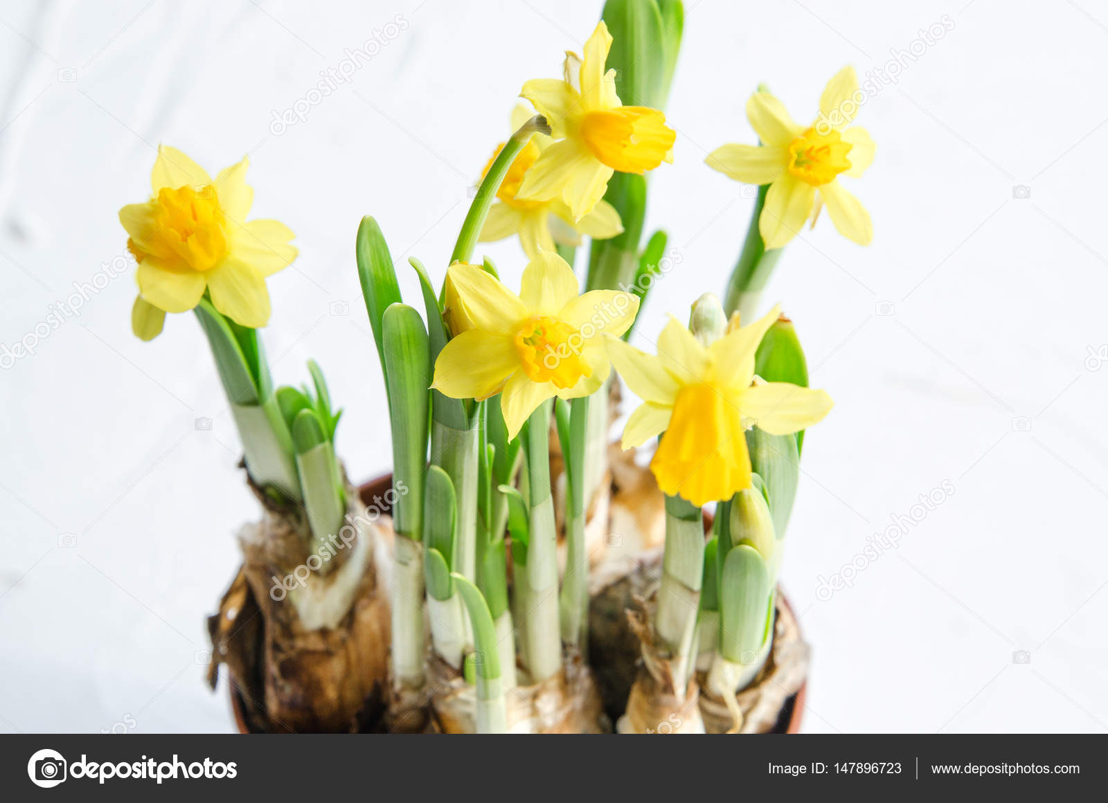 Spring Easter Background With Yellow Daffodils Bouquet In Pot With