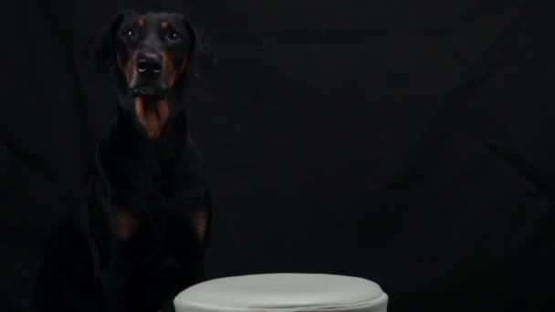 Black Doberman sitting in front of meat with burning candle