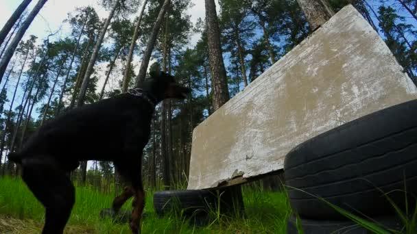 schwarzer Hund, der Dobermann springt durch die provisorische Absperrung