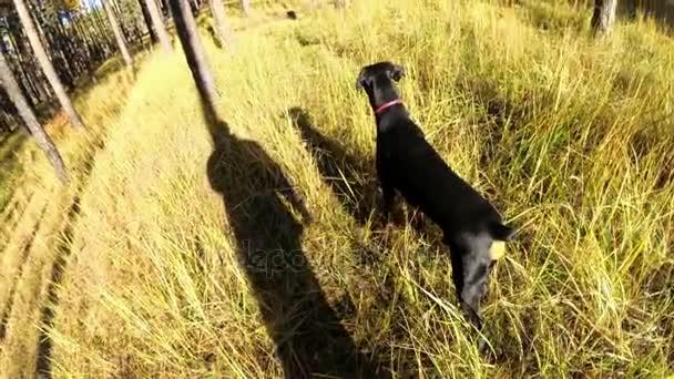 Dobermann sieht in einem tiefen Wald einen Blick in den Rücken