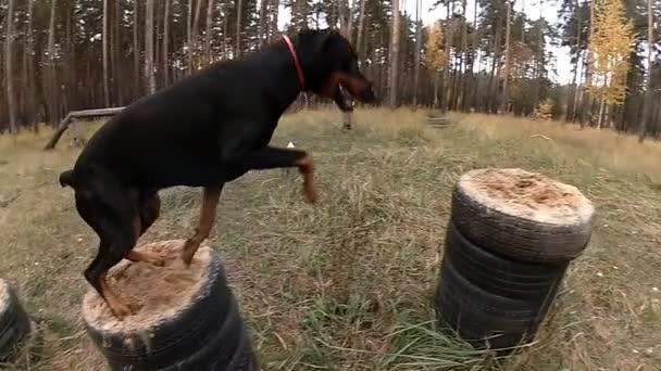 Hundetraining auf dem Truppenübungsplatz im Wald, Dobermann springt von Podest auf Podest