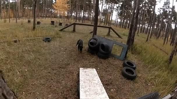 Dobermann springt über Barriere, Hundetraining im Wald