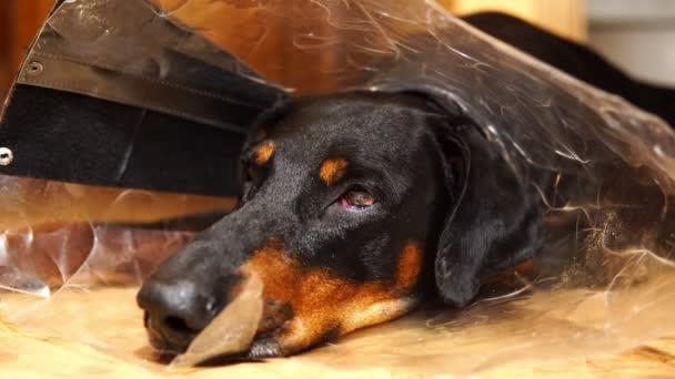 Tlama unavení psa v lékařských kužel límec detail